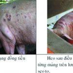 Bệnh đóng dấu Lợn hay bệnh Heo son (Erysipelas suis) - z300 nguoi chan nuoi 494 150x150