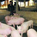 Hà Giang: Tỷ phú trẻ từ chăn nuôi tổng hợp - z300 nguoi chan nuoi 510 150x150
