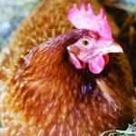 Cách nuôi Gà đẻ trứng VietGAP: Bền vững và tăng thu nhập - z300 nguoi chan nuoi 78 150x150