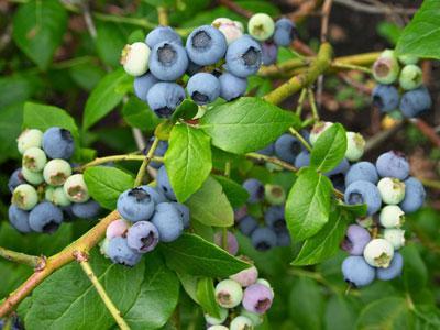 Việt quất là loại trái cây có nhiều công dụng trong y học - 105 tq68 1