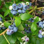 Việt quất là loại trái cây có nhiều công dụng trong y học
