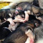 Cách chăm sóc chó con mới sinh