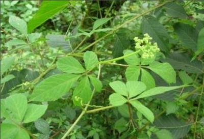 Cây thuốc Giả Cổ Lam – Loại cây thuốc cực quý của loài người - 125 tq86 1