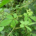 Cây thuốc Giả Cổ Lam – Loại cây thuốc cực quý của loài người - 125 tq86 150x150