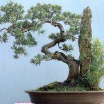 Cách tạo thế cây Tùng bonsai của nghệ nhân Nhật Bản - 1387511430 tung la han thong la han 150x150