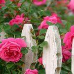 Cách trồng hoa Hồng leo không hề khó !