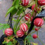Dưa hấu tí hon có màu lạ vỏ đỏ sọc trắng - 1439192474 dua 150x150