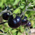 Cà chua đen giá 140 nghìn/kg xếp hàng không mua nổi?