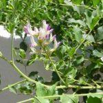 Những bài thuốc tốt, quý hiếm từ cây thuốc Ngũ Gia Bì (xuyên gia bì) - 163 tq133 150x150