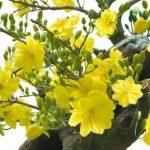Kỹ thuật chiết cây mai vàng đại thụ - 173 mai vang 1 150x150