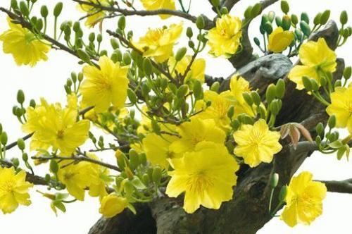 Kỹ thuật chiết cây mai vàng đại thụ - 173 mai vang 1