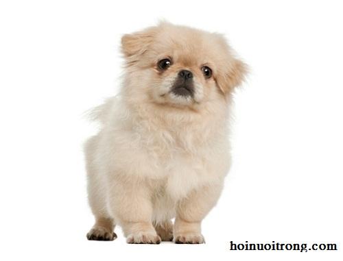 Cách nuôi chó Bắc Kinh - 1Pekingese1