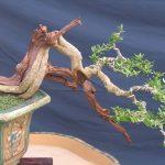 Kinh nghiệm chăm sóc giúp cây Linh Sam ra nhiều hoa và đẹp - 1d6ddd2c660d350 150x150