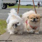 Cách nuôi chó Bắc Kinh