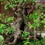 Những tiêu chí đánh giá cây bonsai cổ thụ
