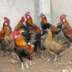 Trại gà rừng 1 triệu USD: Bậc nhất Việt Nam