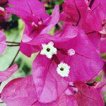 Hướng dẫn cách trồng hoa Giấy