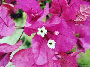 Hướng dẫn cách trồng hoa Giấy - 3091467177320c1156cd 300x225