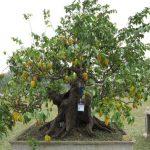 Cách trồng cây Khế Bonsai