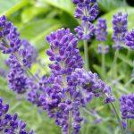 Hướng dẫn cách trồng hoa Oải Hương