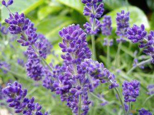 Hướng dẫn cách trồng hoa Oải Hương - 50925302 300x225