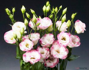 Hướng dẫn cách trồng hoa Cát Tường (Phần 1) - Hoa Cat Tuong 02 300x236