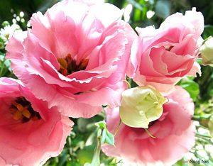Hướng dẫn cách trồng hoa Cát Tường (Phần 1) - Hoa Cat Tuong 03 300x234