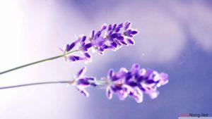Hướng dẫn cách trồng hoa Oải Hương - News Lavender hoa oai huong va sac tim thuy chung 02 300x169
