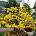 Nguyên tắc tưới nước cho cây mai vàng bonsai