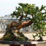 Cây thế bonsai và những quy tắc cơ bản (Phần 2)