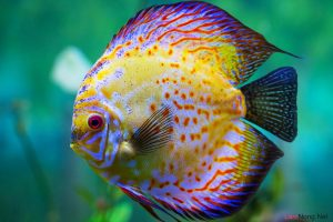3 cách chữa bệnh nấm ở mắt cho cá dĩa - benh ca dia 300x200