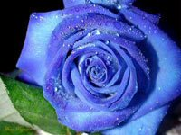 Tạo hoa hồng xanh bằng kỹ thuật RNAi - blue rose