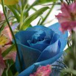 Tạo hoa hồng xanh bằng kỹ thuật RNAi