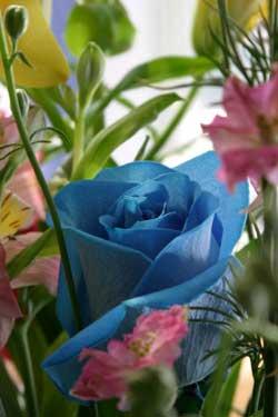 Tạo hoa hồng xanh bằng kỹ thuật RNAi - blue rose1