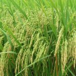 Kỹ thuật trồng lúa cạn cho năng suất cao - bonglua 150x150