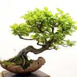 Cây thế bonsai và những quy tắc cơ bản (Phần 3) - bonsai 4 150x150