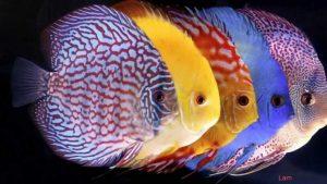 3 cách chữa bệnh nấm ở mắt cho cá dĩa - ca dia 300x169