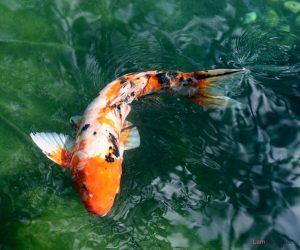 4 loại cá tốt cho phong thủy nhà bạn - ca koi dep 300x250