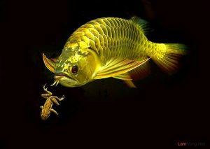 4 loại cá tốt cho phong thủy nhà bạn - ca rong 300x213