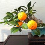 Các loại bonsai cây ăn quả và ý nghĩa - cac loai bonsai cay an qua va y nghia 150x150