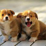 Cách nuôi chó con và cách huấn chó con khoa học