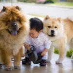 Kỹ thuật nuôi chó Chow Chow thuần chủng