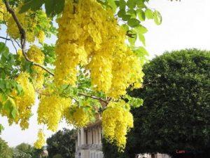 Hướng dẫn cách trồng cây osaka vàng - cach trong cay osaka vang1 300x225