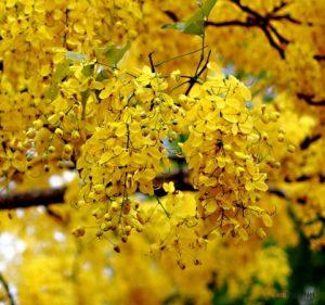 Hướng dẫn cách trồng cây osaka vàng - cach trong cay osaka vang3 300x281 1