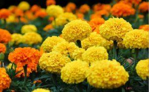 Hướng dẫn cách trồng hoa Cúc vạn thọ - cach trong cuc van tho 1 300x186