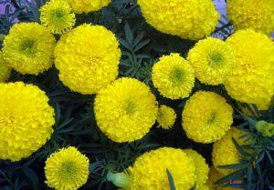 Hướng dẫn cách trồng hoa Cúc vạn thọ - cach trong cuc van tho 2 300x209 1
