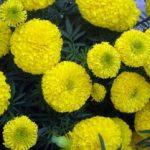Hướng dẫn cách trồng hoa Cúc vạn thọ