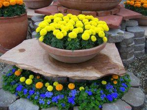 Hướng dẫn cách trồng hoa Cúc vạn thọ - cach trong cuc van tho 3 300x225