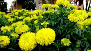 Hướng dẫn cách trồng hoa Cúc vạn thọ - cach trong cuc van tho 4 300x169