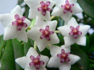 Hướng dẫn cách trồng hoa Cẩm Cù (Phần 1) - cach trong hoa cam cu2 300x225 1